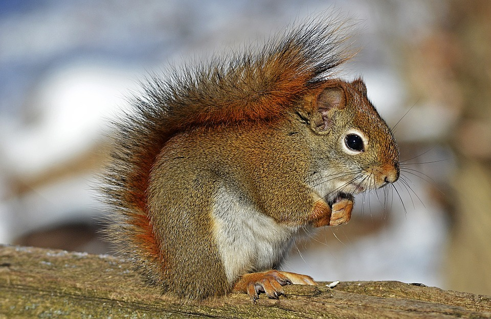 Red squirrel (Picture: Pixabay)