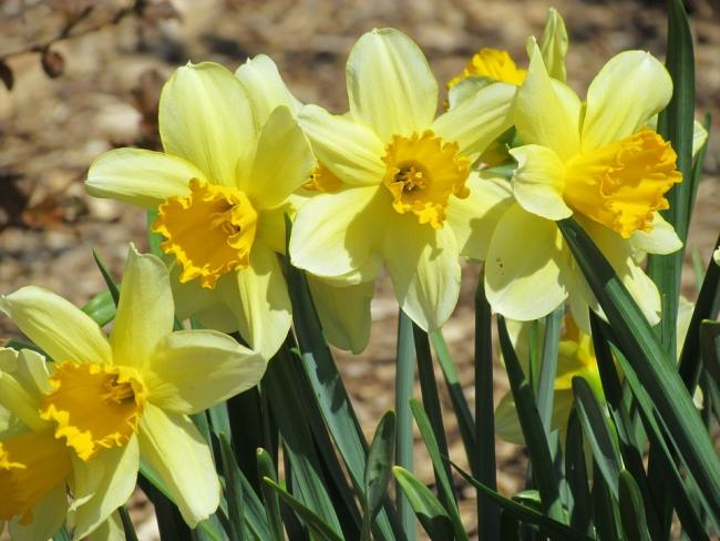 Spring daffodils (Picture: Pixabay.com)