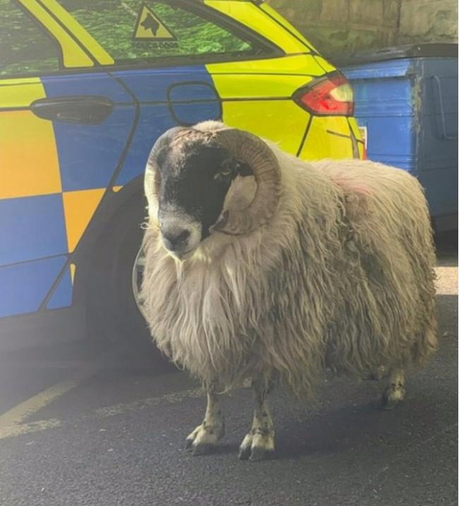 The sheep after it was captured
